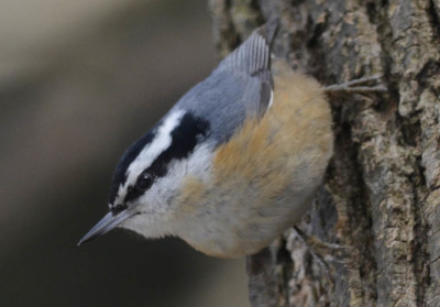 Photo of Red Breasted Nuthatch on NaturalCrooksDotCom