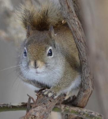 Photo of Red Squirrel On NaturalCrooksDotCom