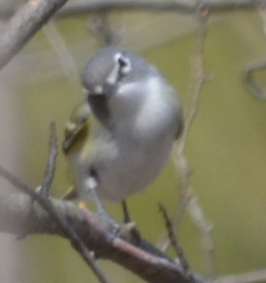 Photo of Blue Headed Vireo Face on NaturalCrooksDotCom
