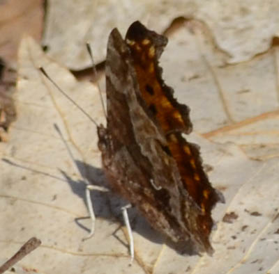 Comma Hind Wing on NaturalCrooksDotCom