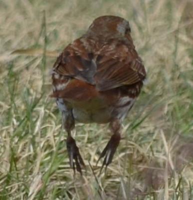 Photo of Fox Sparrow Leap on NaturalCrooksDotCom