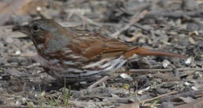Photo of Fox Sparrow Tulgy on NaturalCrooksDotCom