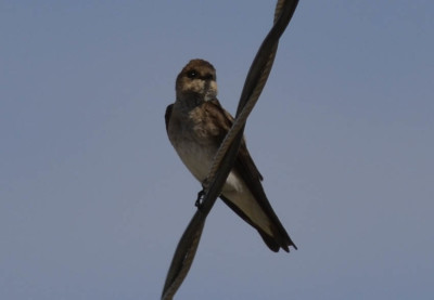 Photo of Northern Rough Winged Swallow Wire on NaturalCrooksDotCom