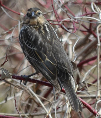 Photo of Red Winged Blackbird Female Dogwood on NaturalCrooksDotCom
