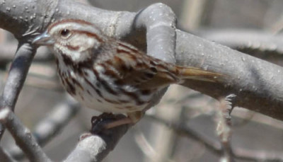 Photo of Song Sparrow Branch on NaturalCrooksDotCom