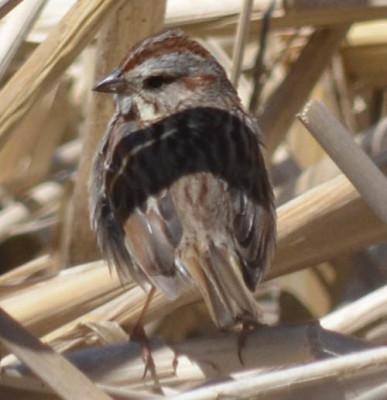 Photo of Song Sparrow Reeds on NaturalCrooksDotCom