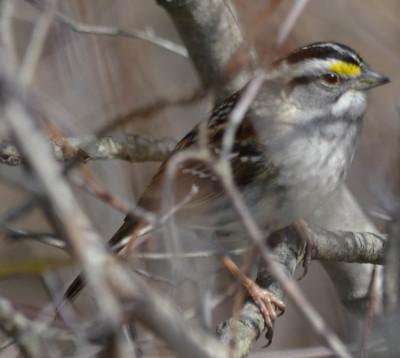 Photo of White Throated Sparrow Dogwood on NaturalCrooksDotCom