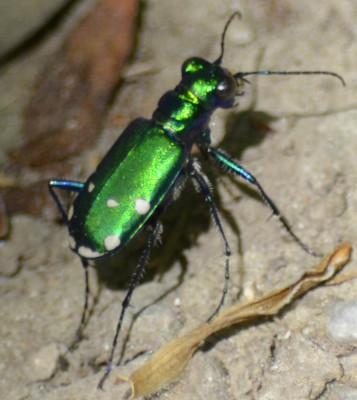 Photo of 6 Spotted Tiger Beetle Legs On NaturalCrooksDotCom