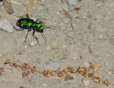 Photo of 6 Spotted Tiger Beetle Small On NaturalCrooksDotCom