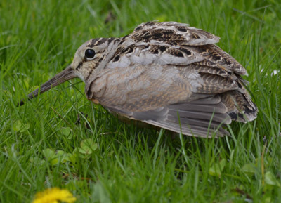 Photo of American Woodcock Crouch On NaturalCrooksDotCom