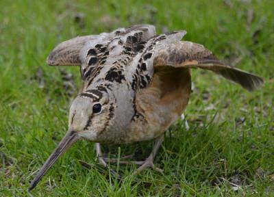 Photo of American Woodcock Facing On NaturalCrooksDotCom