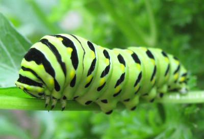 Photo of Black Swallowtail Caterpillar Kingston 2010 on NaturalCrooksDotCom