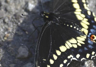 Photo of Black Swallowtail Drinking on NaturalCrooksDotCom