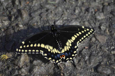 Photo of Black Swallowtail on NaturalCrooksDotCom