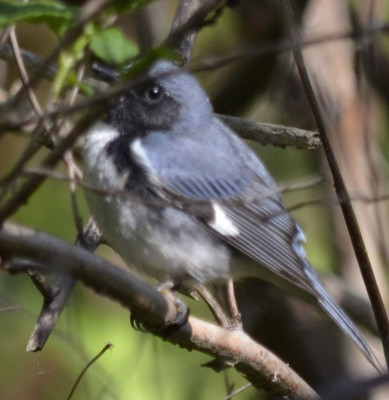 Photo of Black Throated Blue Warbler Left on NaturalCrooksDotCom