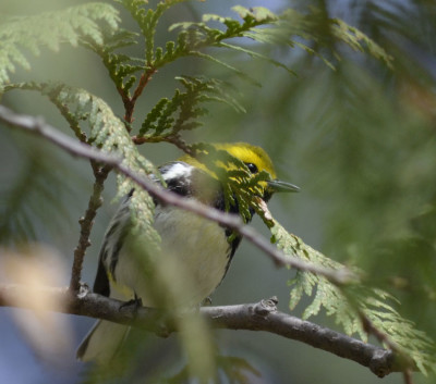 Photo of Black Throated Green Warbler Cedar on NaturalCrooksDotCom