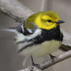 Photo of Black Throated Green Warbler Gleam on NaturalCrooksDotCom