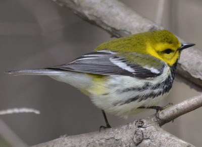 Photo of Black Throated Green Warbler Jaunty on NaturalCrooksDotCom