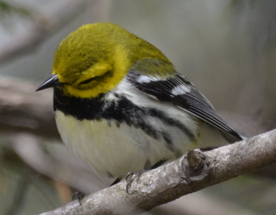 Photo of Black Throated Green Warbler Mock Sleepy on NaturalCrooksDotCom