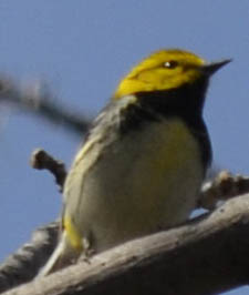 Photo of Black Throated Green Warbler Tall on NaturalCrooksDotCom