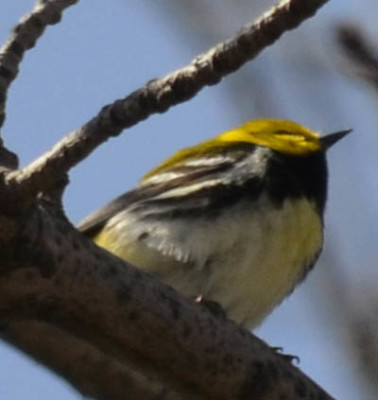 Photo of Black Throated Green Warbler on NaturalCrooksDotCom