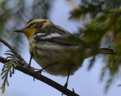 Photo of Blackburnian Warbler Cedar on NaturalCrooksDotCom