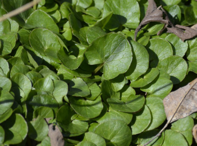 Photo of Fig Buttercup Leaves on NaturalCrooksDotCom