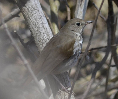 Photo of Hermit Thrush Gaze on NaturalCrooksDotCom