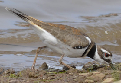 Photo of Killdeer Feeding On NaturalCrooksDotCom