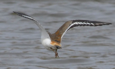 Photo of Killdeer Flight Rump on NaturalCrooksDotCom