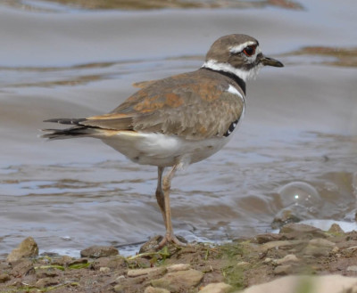 Photo of Killdeer Oak Park on NaturalCrooksDotCom
