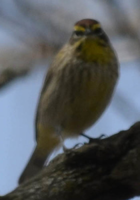 Photo of Palm Warbler Dark on NaturalCrooksDotCom
