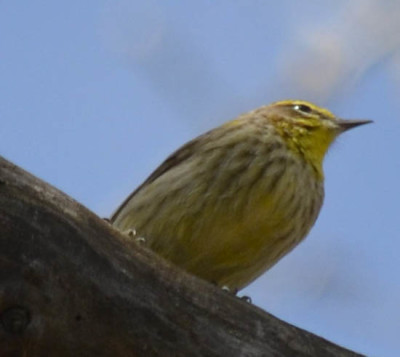 Photo of Palm Warbler Yellow on NaturalCrooksDotCom