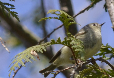 Photo of Ruby Crowned Kinglet Cedar on NaturalCrooksDotCom