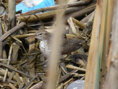 Photo of Spotted Sandpiper Cattails on NaturalCrooksDotCom