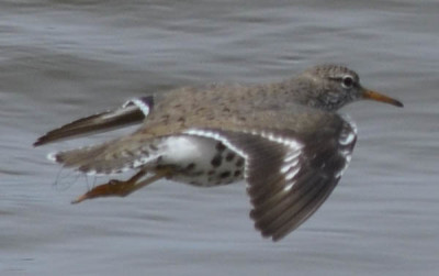 Photo of Spotted Sandpiper Flight Back on NaturalCrooksDotCom