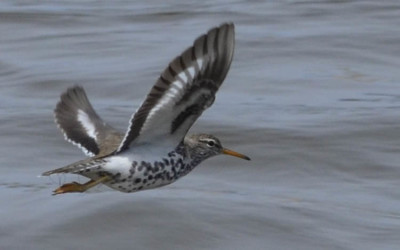Photo of Spotted Sandpiper Flight Front on NaturalCrooksDotCom