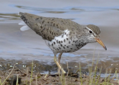 Photo of Spotted Sandpiper Shore on NaturalCrooksDotCom