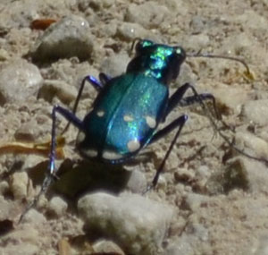 Photo of Turquoise Beetle On NaturalCrooksDotCom