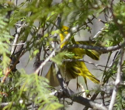 Photo of Yellow Warbler Disguised on NaturalCrooksDotCom