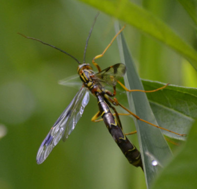 Photo of Giant Ichneumon Wasp Closeup On NaturalCrooksDotCom