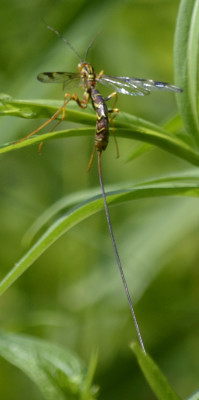 Photo of Giant Ichneumon Wasp Tail on NaturalCrooksDotCom