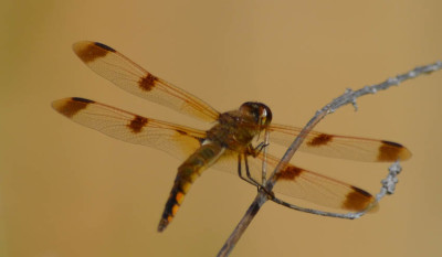 Photo of Painted Skimmer Back on Natural Crooks Dot Com