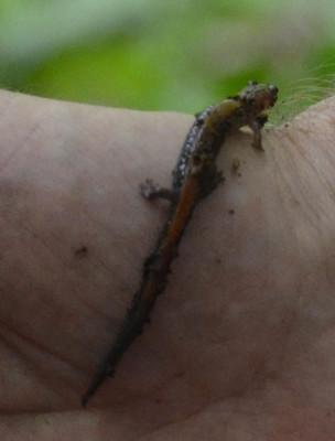Photo of Red Backed Salamander and Loam on NaturalCrooksDotCom