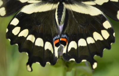 Photo of GiantSwallowtailHind Wings on NaturalCrooksDotCom