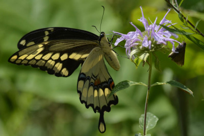 Photo of Giant Swallowtail Skipper Share Bergamot on NaturalCrooksDotCom
