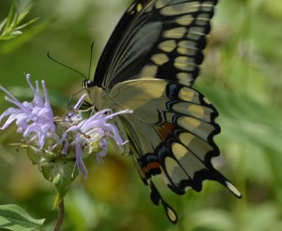 Photo of GiantSwallowtailonBergamot on NaturalCrooksDotCom