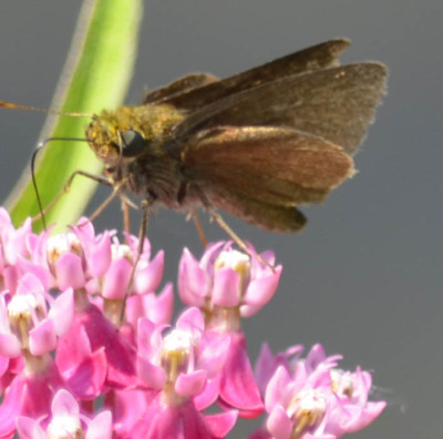 Photo of Skipper on Swamp Milkweed on NaturalCrooksDotCom
