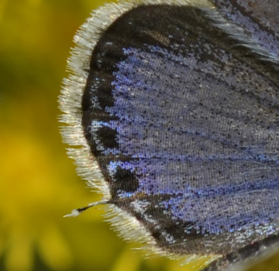 Photo of Eastern Tailed Blue Male Closeup Hindwing Scales on NaturalCrooksDotCom