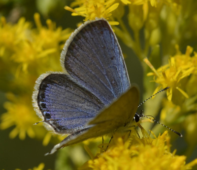 Photo of Eastern Tailed Blue Male On Goldenrod Profile on NaturalCrooksDotCom